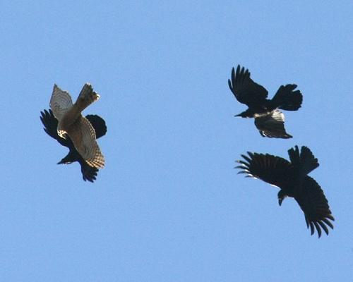 crow mob