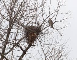 hawk nests